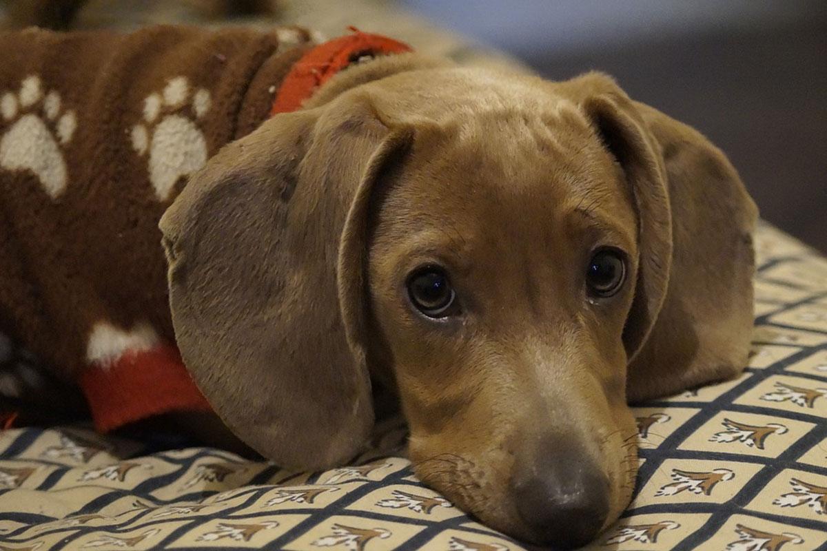 Hund mit Decke